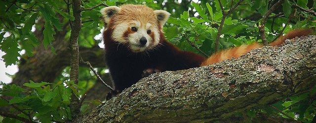 Red Panda (Firefox)